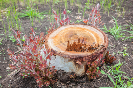 New treetops emerging on the stump