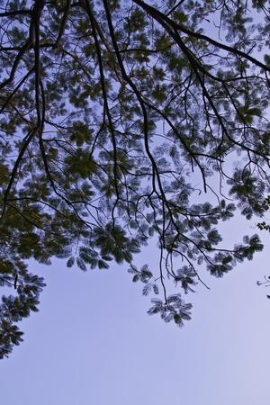 centenarian: The beautiful tree in the blue sky.