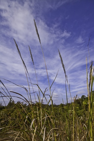 Featherl grass ( imperata cylindrica ) in the tropical asia. Stock Photo - 11999683