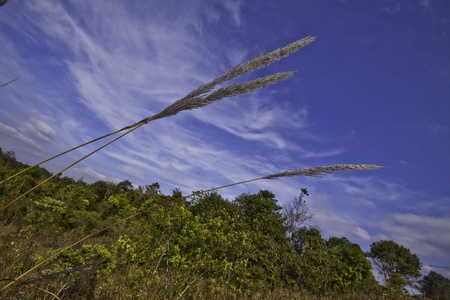 Featherl grass ( imperata cylindrica ) in the tropical asia. photo