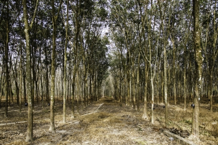 The beautiful and calm natural landscape of the rubber trees forest in the southern part of Thailand. photo