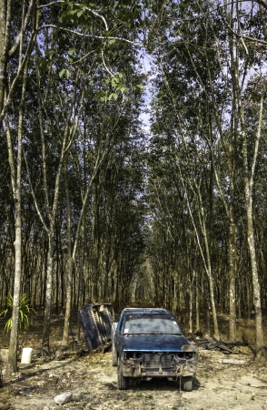 The beautiful and calm natural landscape of the rubber trees forest in the southern part of Thailand  photo