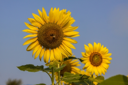 The beautiful sunflower, the beauty of nature. photo
