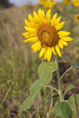 The beautiful sunflower, the beauty of nature. Stock Photo