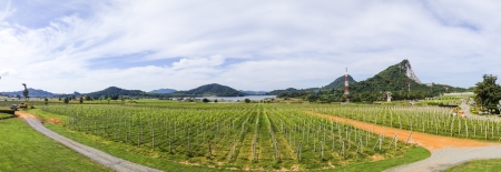 The rural landscape scene of beautiful vintyard photo