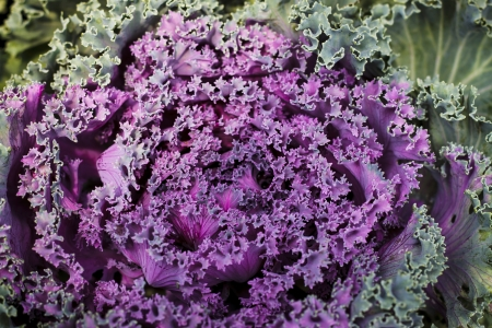 greening: Cabbage is the annual crops in the family of Brassica oleracea capitata of the serie Cruciferae.