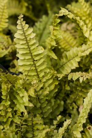 Fern in the Pteridophytes family. Stock Photo