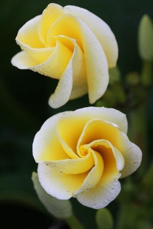convolute: Frangipani flowers are opening Stock Photo