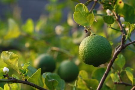 rutaceae: Lime fruit on tree
