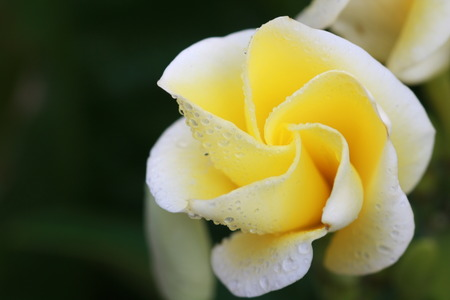 contorted: Frangipani flowers is opening Stock Photo
