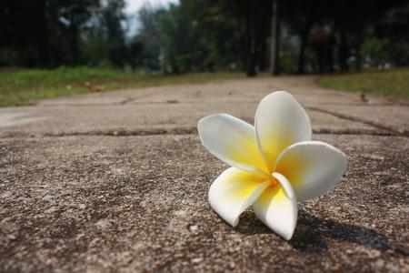 Pagoda tree flower on street