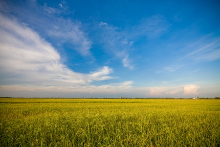 field of thai: RiceGrass Stock Photo