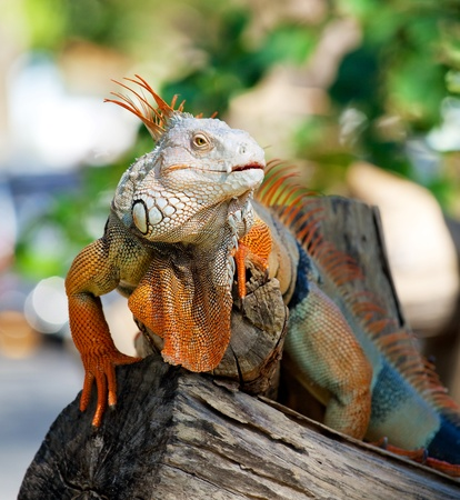 iguana reptile sitting on the tree photo