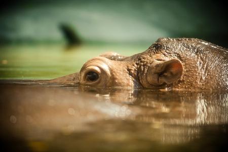antagonistic: Hippo open its eye