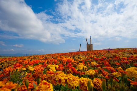 summer field of red flower on a background blue sky photo