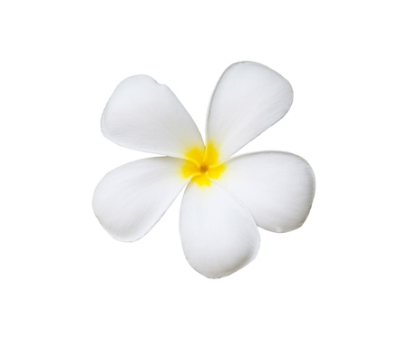 single frangipani flower isolated on white background photo