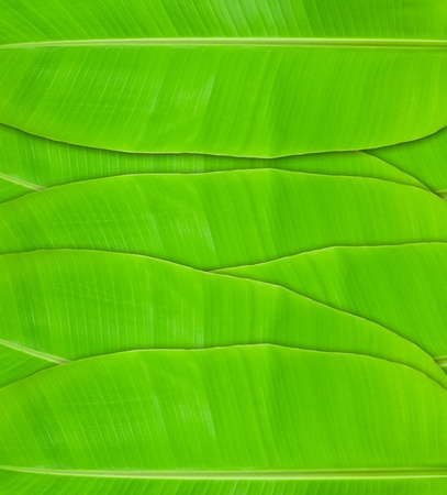 The texture of green banana leaves background photo