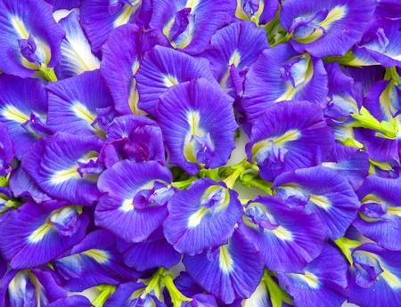 dicot: Bellissimo sfondo fiore blu Archivio Fotografico