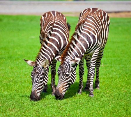 was: Two zebras was eating grass Stock Photo