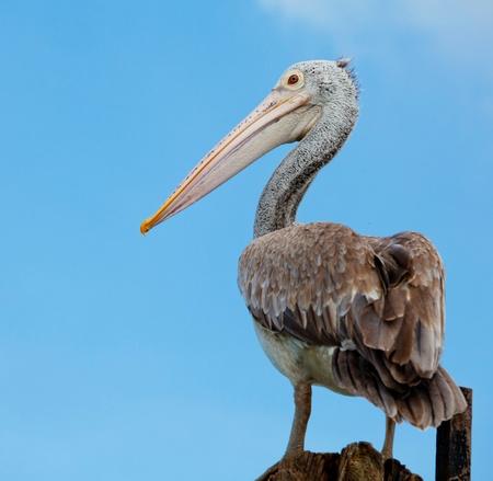 A majestic Dalmatian pelican standing photo