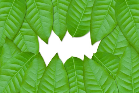 green leaves on white background Stock Photo - 9734356
