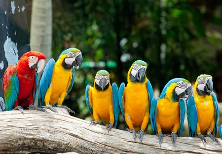 blue parrot: colorful macaws sitting in a tree