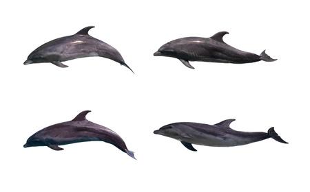dolphin: Dolfijn geïsoleerd op witte achtergrond