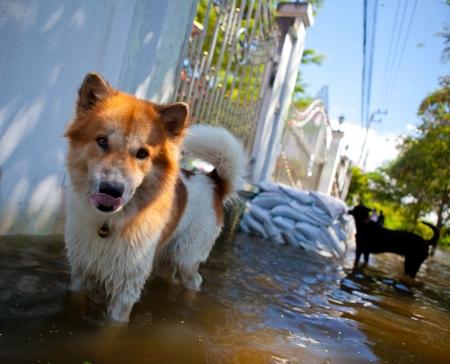 d�bord�: chien qui regarde sur les eaux d�bordantes du fleuve, en cas de catastrophe naturelle