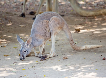 australia landscape: Grey Kangaroo in the park Stock Photo