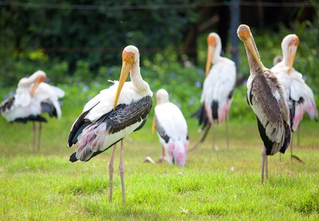 majestic Dalmatian pelican standing on the green grass Stock Photo - 11153720