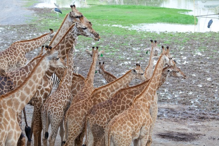 muck: Masai giraffe in national park Stock Photo