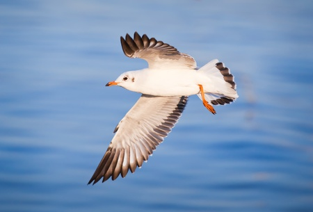 wingspread: Seagull flying on beautiful blue sea