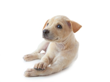 puppy dog lying isolated on white background photo