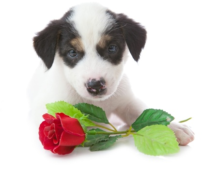 rosas negras: cachorro de perro con la rosa en frente de un fondo blanco Foto de archivo