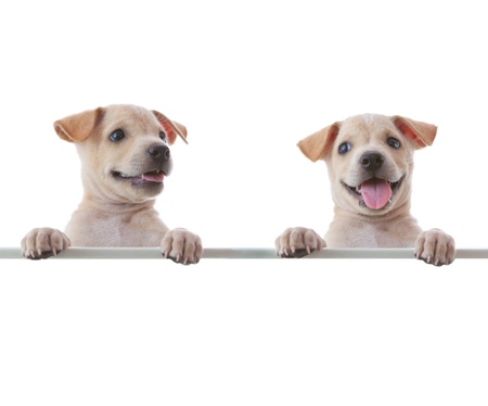 small white dog: Two dogs with empty board on white background