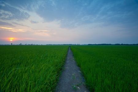 Rice sunset farm landscape sky beautiful field photo