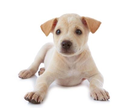 puppy dog isolated on white background photo