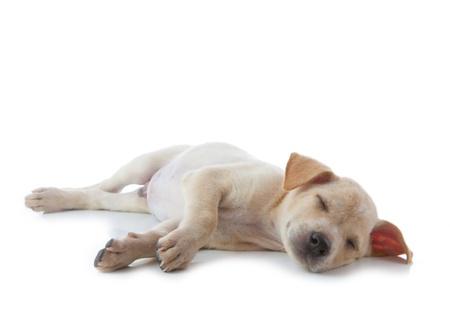 sleeping animals: puppy dog sleep isolated on white background