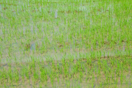 Rice field close up as background photo