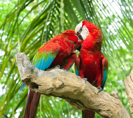 colorful couple macaw kissing in a tree photo