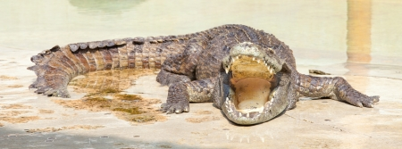 crocodile with open mouth resting in water photo
