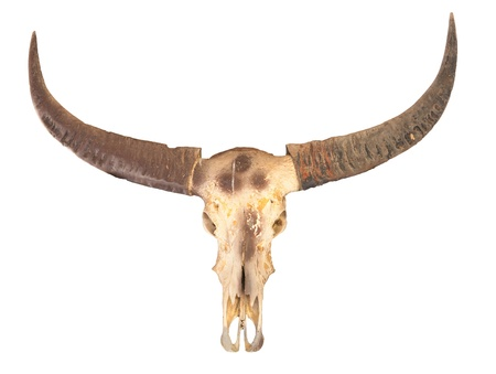 old cowboy: buffalo skull with horn isolated on white background Stock Photo