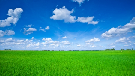 clouds in sky: Rice field green grass blue sky cloud cloudy landscape