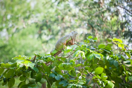 primal: iguana reptile sitting on the tree