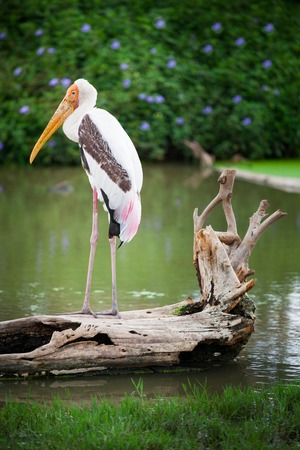 Dalmatian pelican standing on the water photo