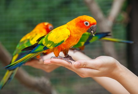 parrot flying: Feeding Colorful parrots sitting on human hand