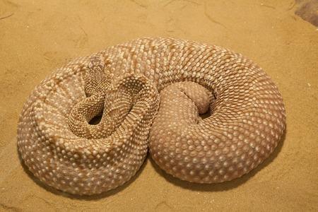 mojave: A mojave green rattlesnake found in the Mojave desert