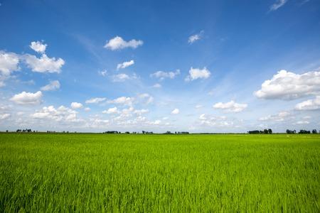 Rice field green grass blue sky cloud cloudy landscape