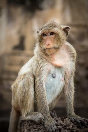 Baby monkeys in Thai Temple,Lopburi, Thailand. Stock Photo