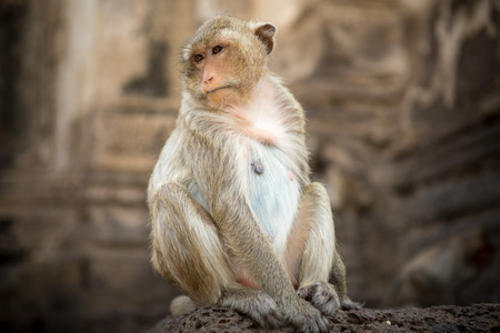 Baby monkeys in Thai Temple,Lopburi, Thailand. Stock Photo